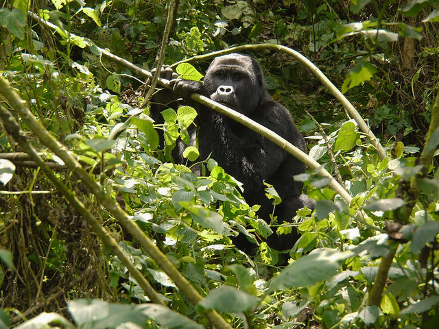 Savanna Wildlife and Mountain Gorillas Tour Photos