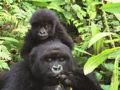 Mountain Gorillas In Volcanoes National Park