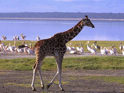 Nakuru Baby Giraffe & Flamingoes
