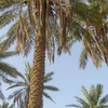 Palm Trees In Unaizah