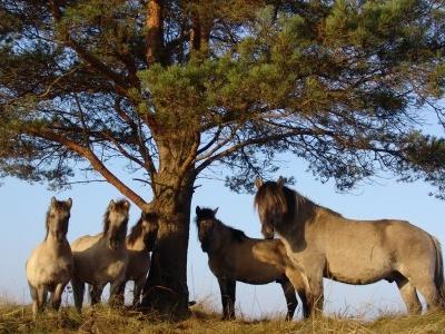 Pape Nature Park, Wild Horses