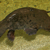 A Platypus At Sydney Aquarium