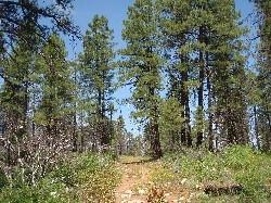 Ponderosa Forest - Zion - Utah - USA