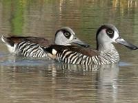 Paroo Floodplain and Currawinya Important Bird Area
