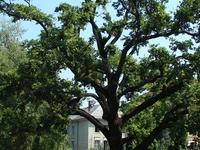 Quercus Robur - Déri Square
