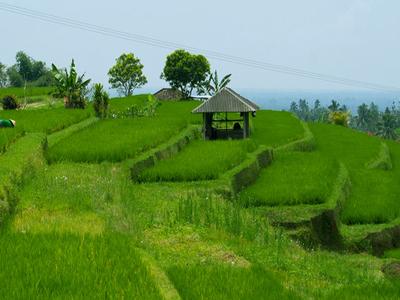 Rice Fields, Jatiluwih