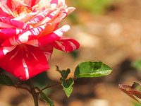 Government Rose Garden