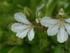 Scaevola Taccada Flowers