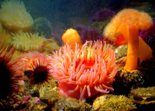 Seattle Aquarium: Sea Anemones