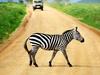 Serengeti Zebra Crossing