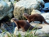 Small Clawed Otters @ Wellington Zoo NZ