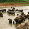 Sri Lankan Elephant In The Park