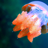 One Of The Non-Stinging Jellyfish Of Kakaban
