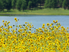 Sunflowers At Lake Mary