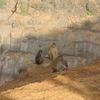 Sunset Point Monkey Family - Matheran - Maharashtra - India