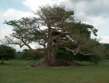 The 300-year-Old Ceiba Tree
