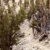 The Methuselah Grove Trail In The Ancient Bristlecone Pine Forest