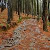 Vagamon Pine Forest