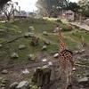 Wellington Zoo Giraffe Enclosure NZ