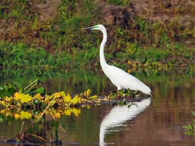 White Heron In Chitwan National Park
