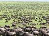 Wildebeest Stock