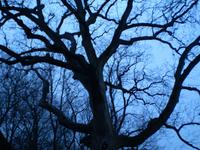 Washington Oak