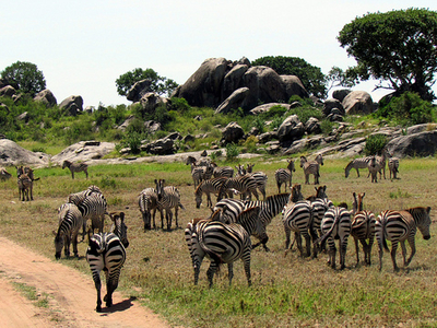 Zebras At Serengeti National Park