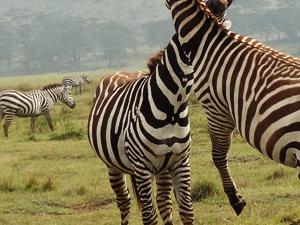 Budget Amboseli Safari Fotos