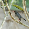 Red-legged Thrush At Juan A. Rivero Zoo