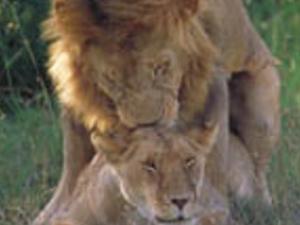 Masai Mara Camping Safaris 3 days budget camping safari Photos