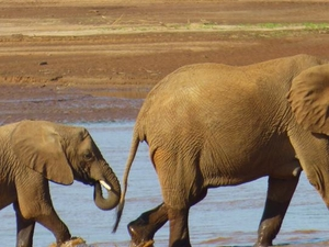 AMBOSELI & MIGRATION 8days SAFARI Photos