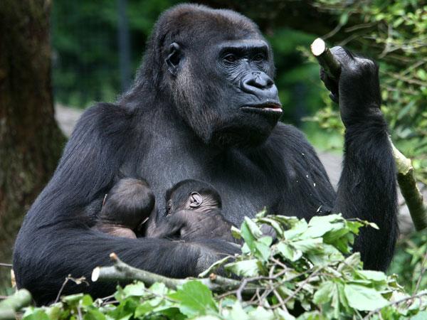 Uganda Gorilla Trek Exclusive Budget Safari Photos