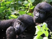 3days gorilla tracking in bwindi forest uganda
