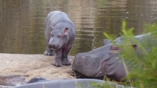 Young Hippo Coming Out Of Water