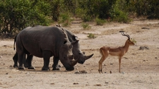 Rhino And Impala