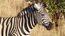 Burchels Zebra