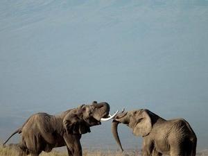 Amboseli, Masai Mara and Nakuru Safari Adventure Fotos