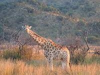 The Gracious Giraffe