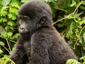 Gorilla Habituation Experience Photos