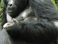 Uganda Gorilla Safari Adventure