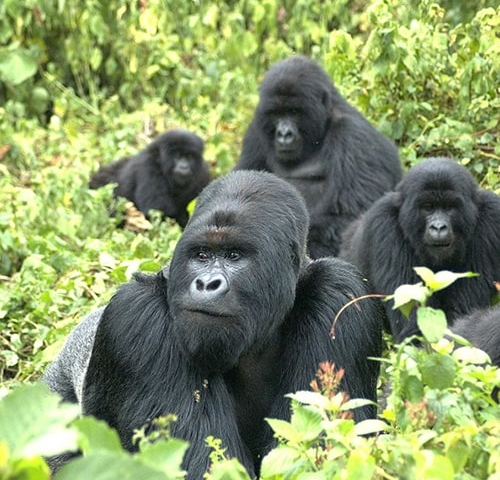 Gorilla Safaris in Uganda Photos