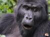Gorilla Trekking & Queen Elizabeth