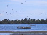 Flocks Of Little Terns