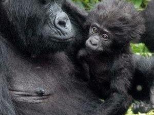 Uganda Gorilla Express Fotos