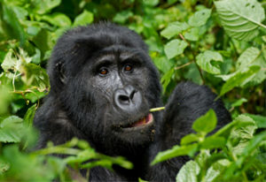 Best Offer for Bwindi Impenetrable Forest Gorilla Trekking Fotos