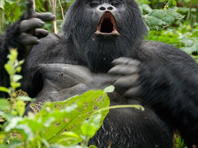 Gorilla Trekking in Uganda Photos