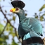 Great Blue Turaco Xv2a0877