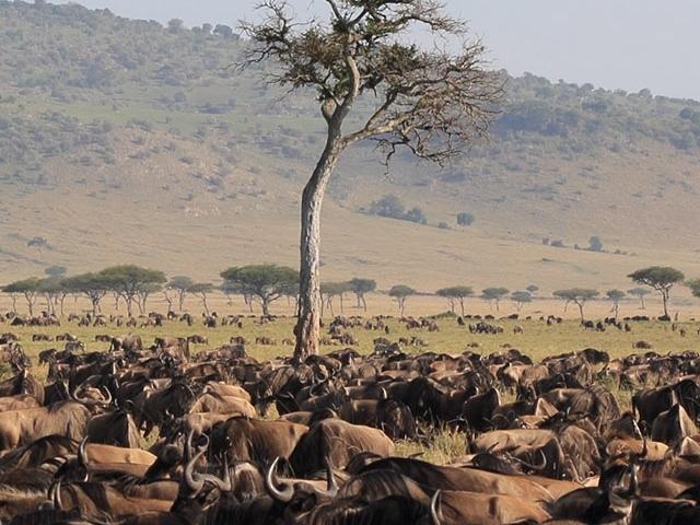 Migration Trails - Maasai Mara Photos