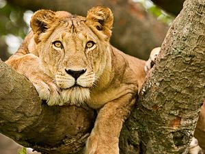 Hexagon Safari: Classic Uganda Primate Adventure Fotos