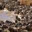 10 Day Great Wildebeest Migration Tracking